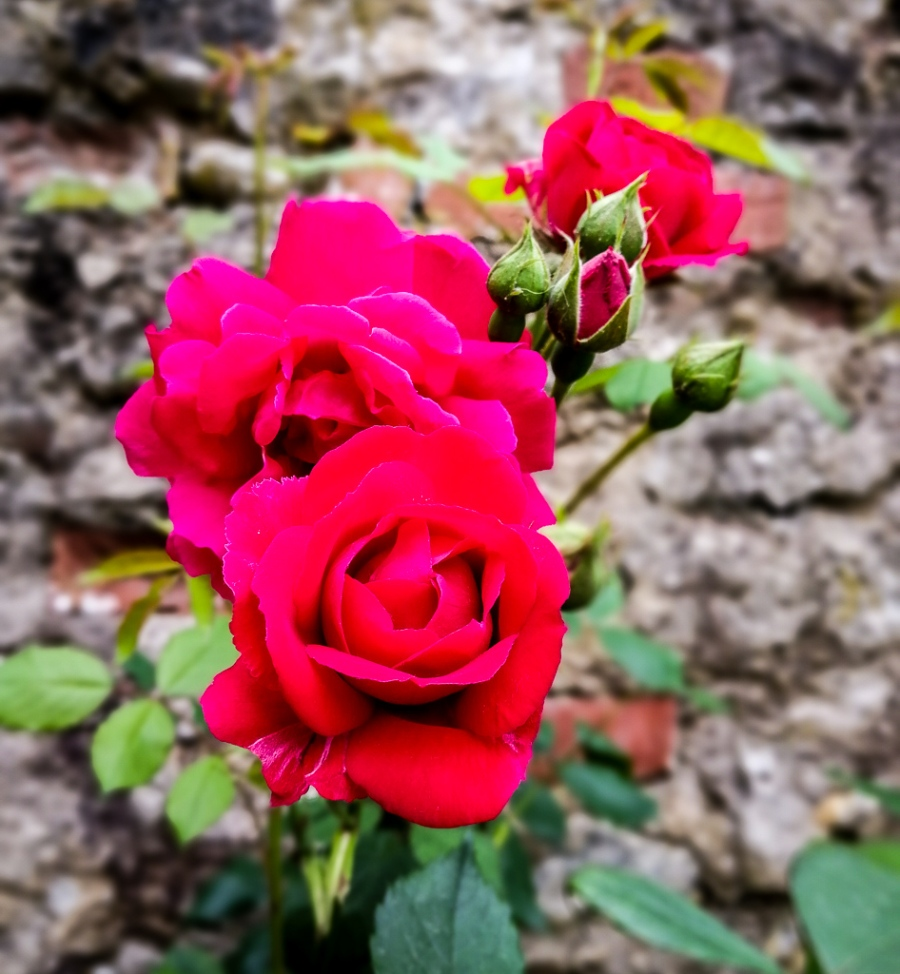 red roses in south of france