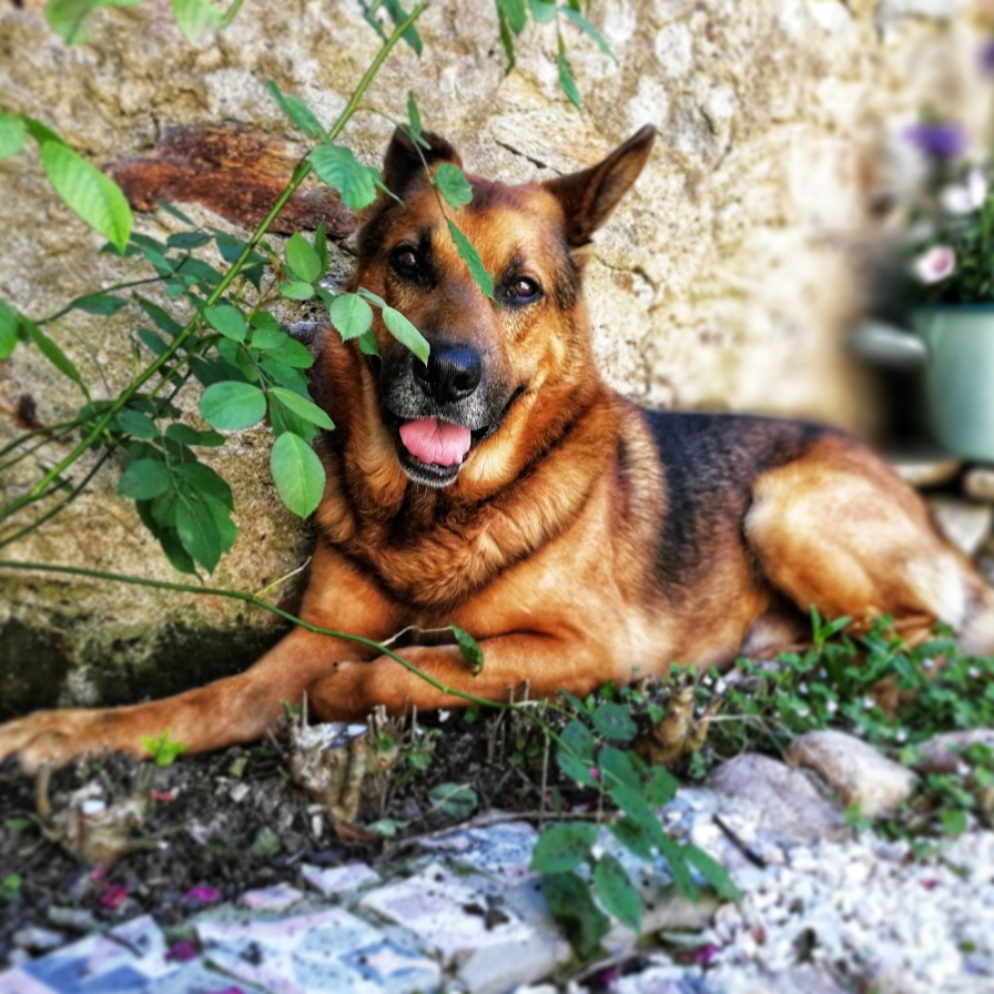German shepherd lounging in a garden