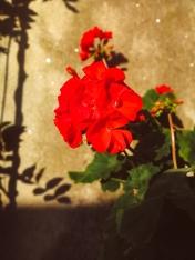 Pegonia in flower