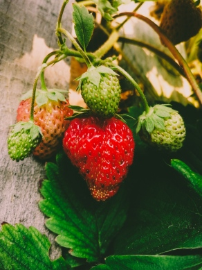 The first strawberries of the season
