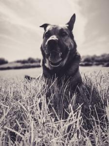 Rusty the Alsatian dog enjoying the sun
