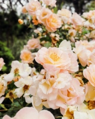 Mazamet photography by Tiina Lilja Summer roses in full bloom.