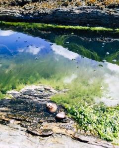 Rockpool algae and winkles
